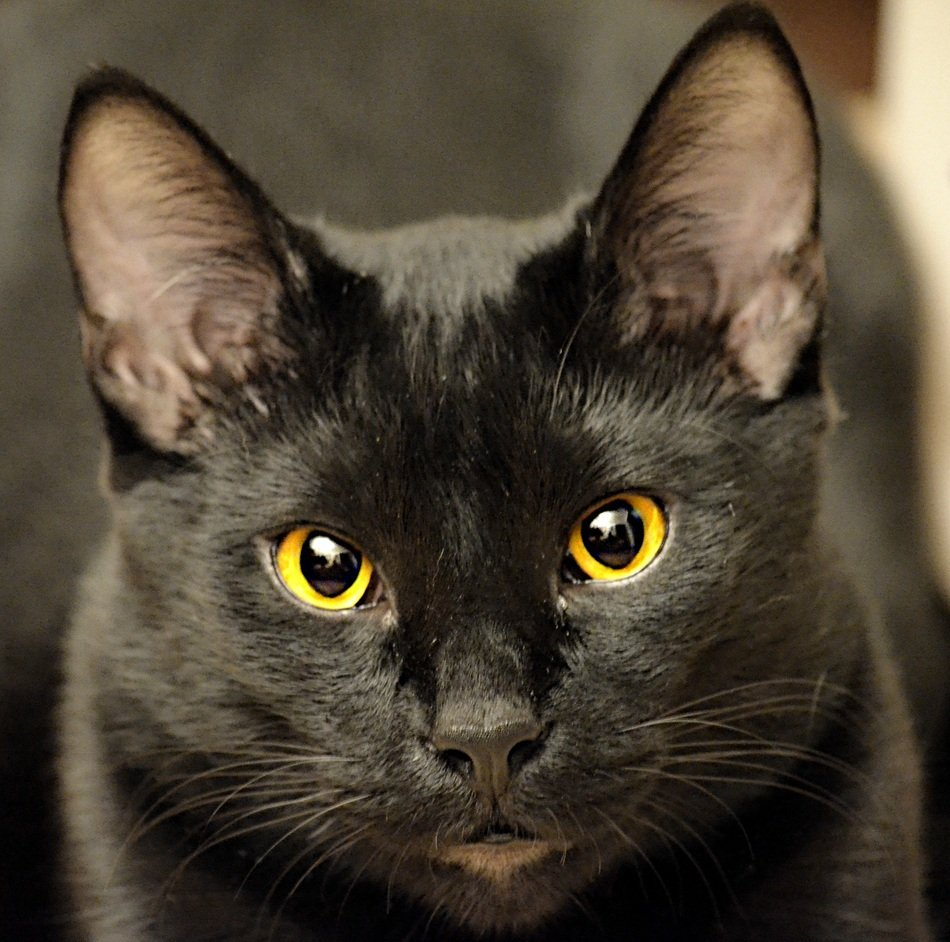 black cat with yellow eyes close up