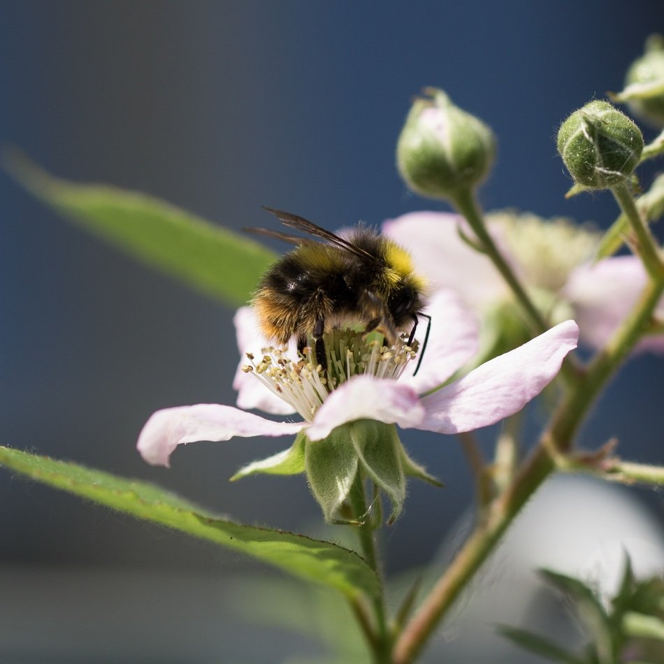 a bee pollinates light pink flowers