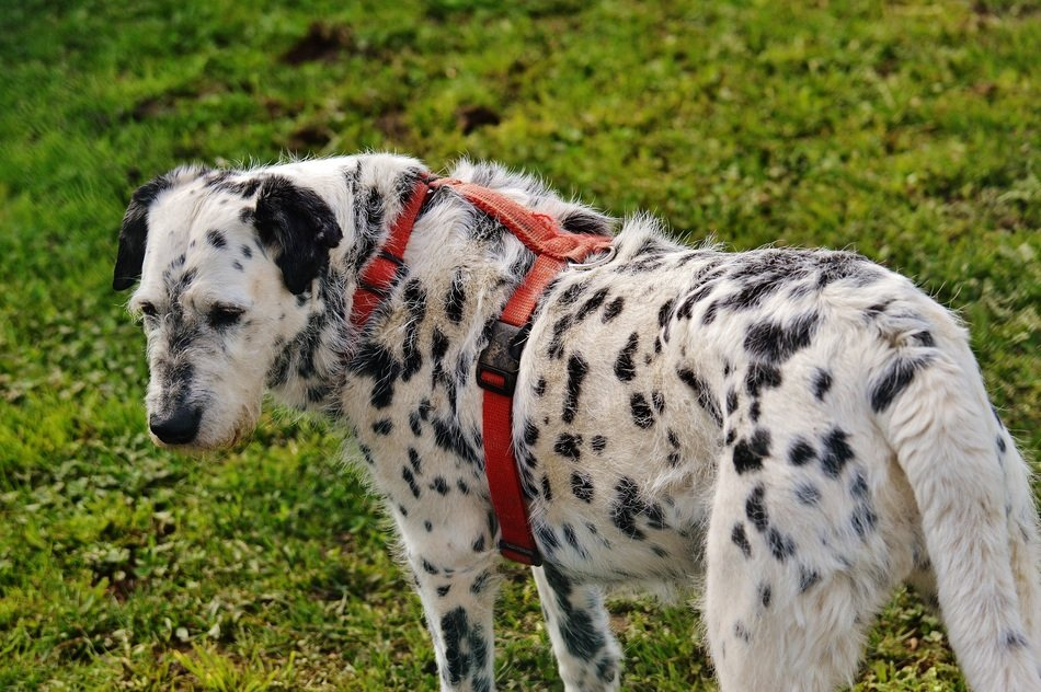 black and white spotted dog for a walk