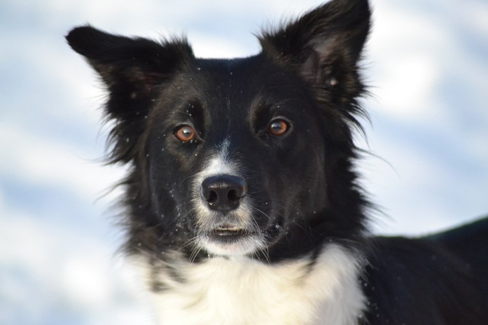 Border Collie dog in a winter