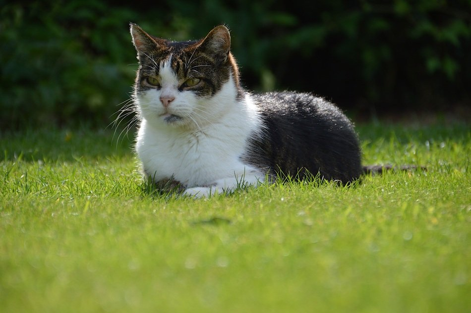domestic cat lying on the grass