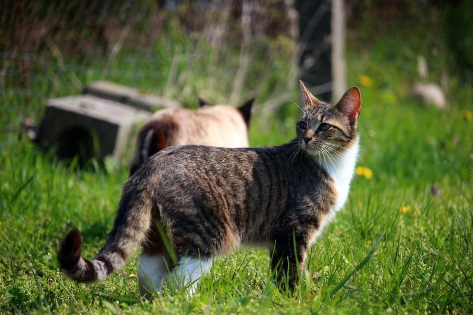 tabby domestic cat on the green grass