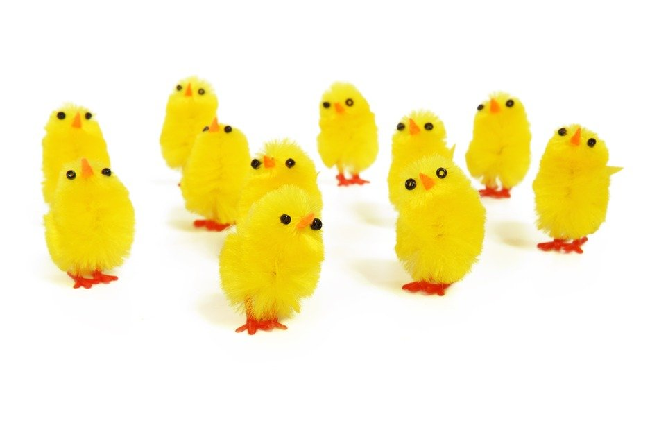 painted yellow chickens on white background