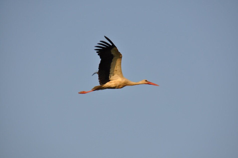 Stork bird in flight