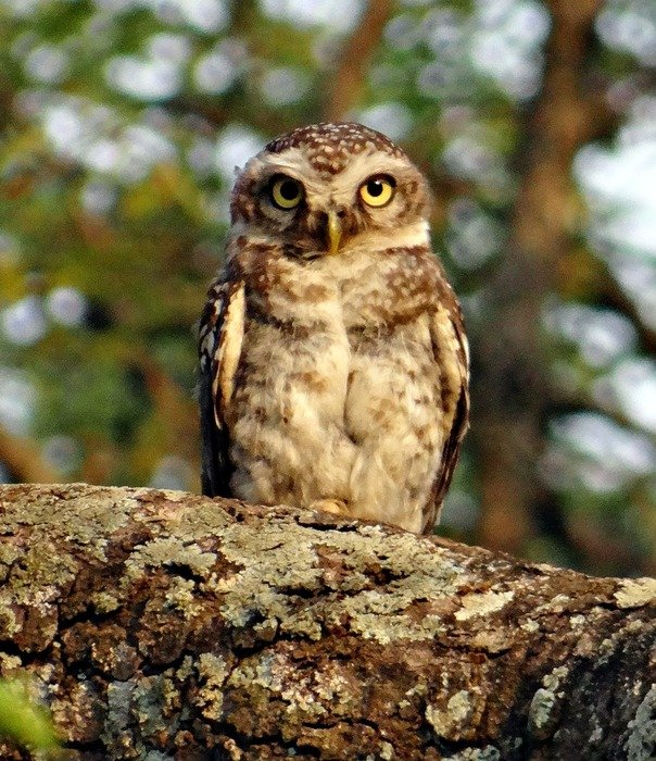 spotted owlet in wildlife