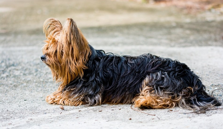 Yorkshire Terrier on an asphalt road