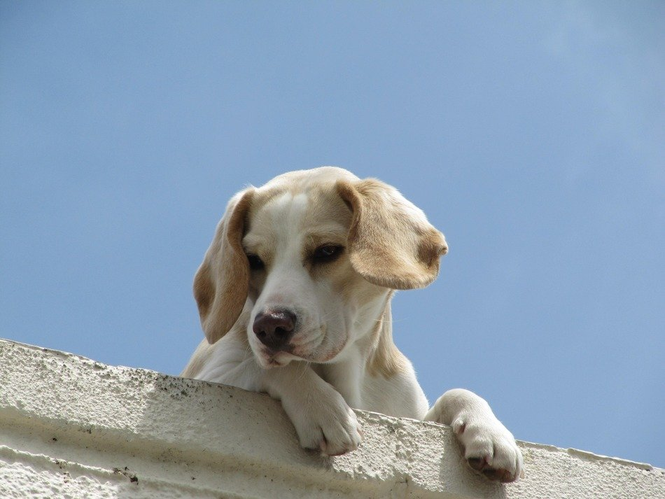home puppy is watching from the roof