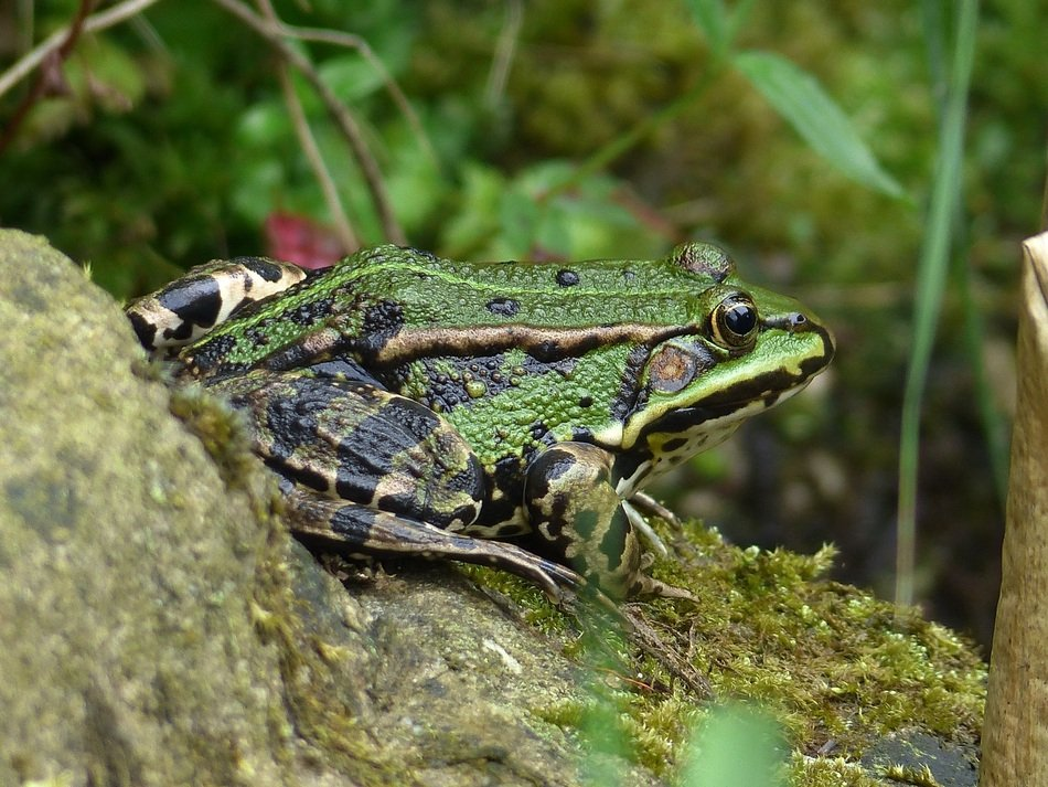 dark green frog on the shore of a garden pond