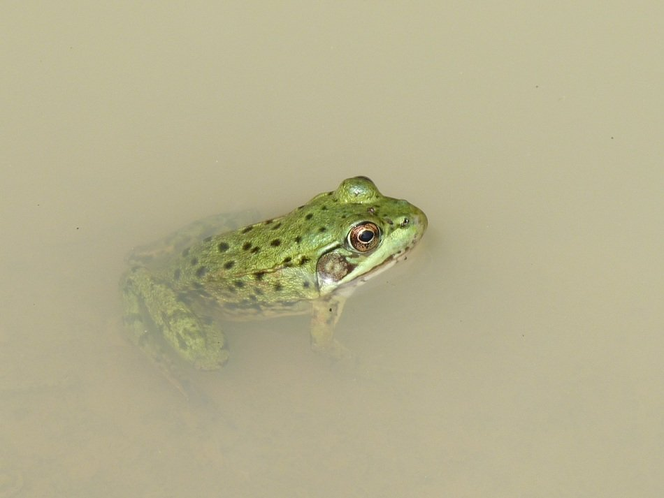 green frog in muddy water