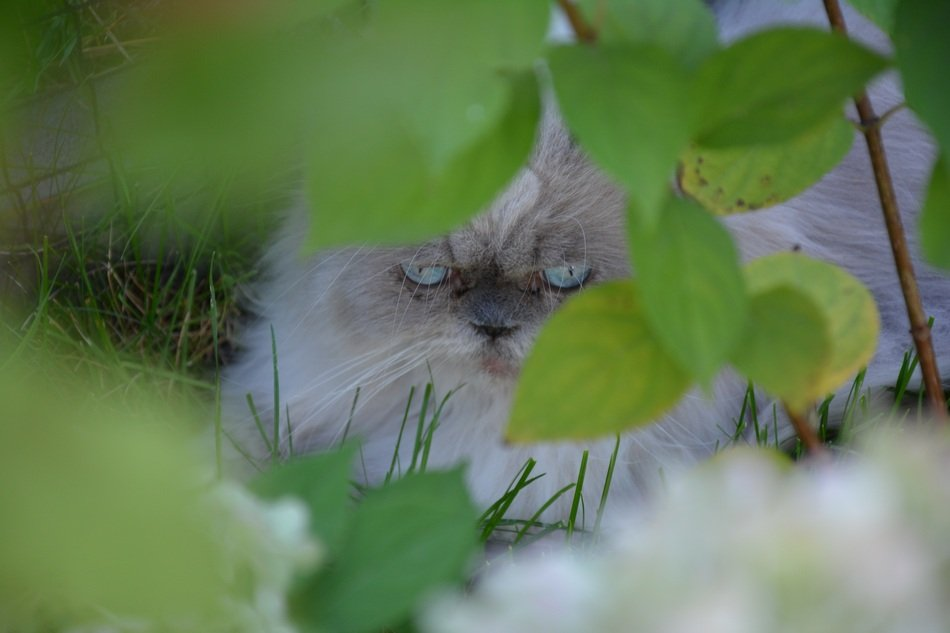 gray persian cat in the bushes