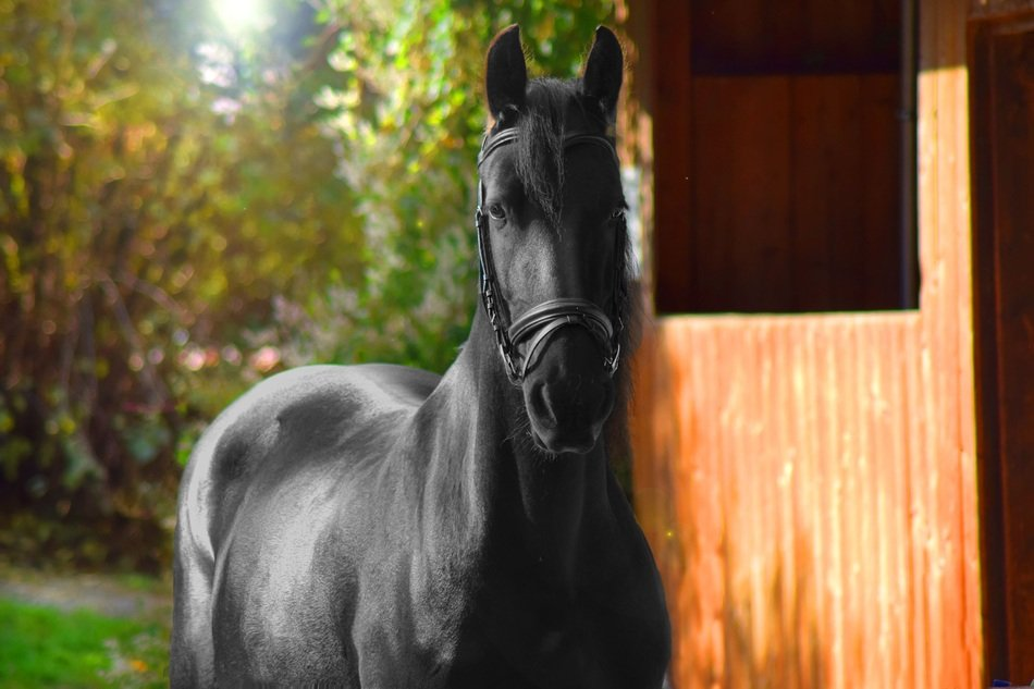 Picture of black Horse on a farm