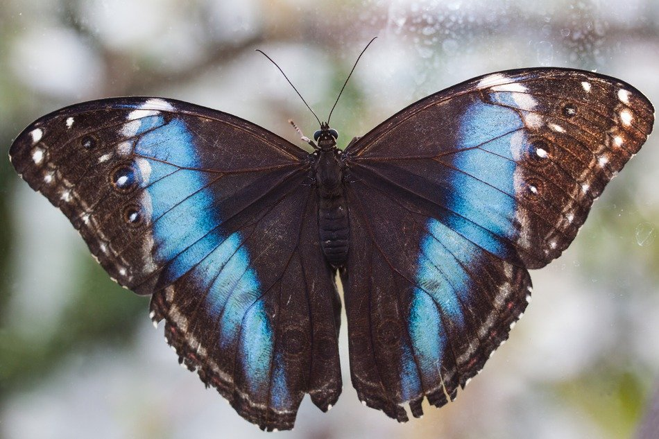 exotic black butterfly with blue stripes
