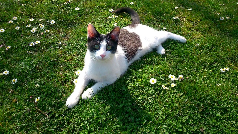 black and white kitten on the blooming lawn