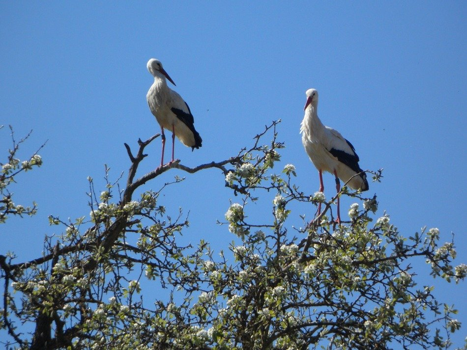 two storks on a blossoming apple tree