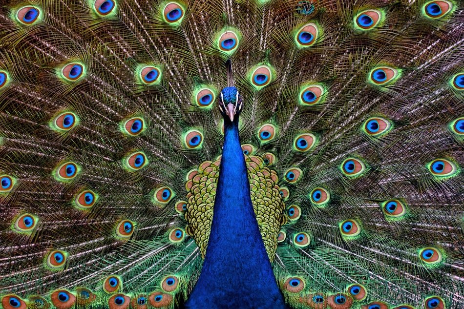 beautiful Peacock with open tail feathers