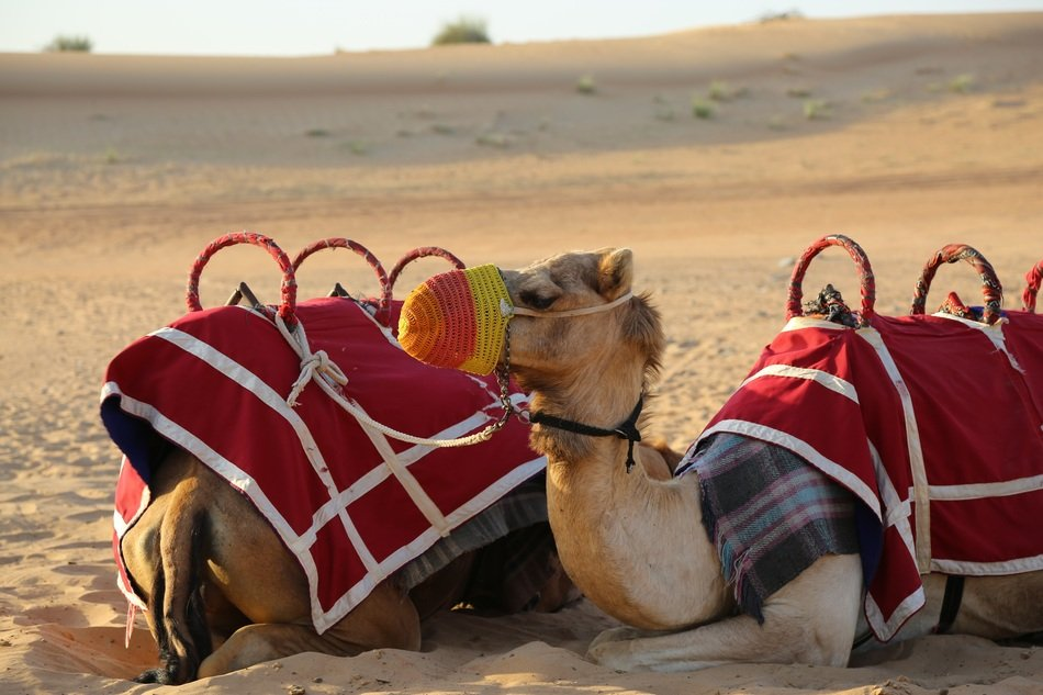 camel with a red saddle and a multi-colored muzzle