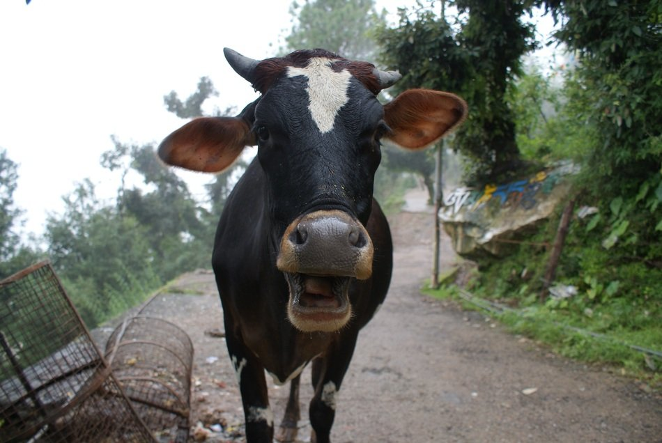 head of a black farm cow