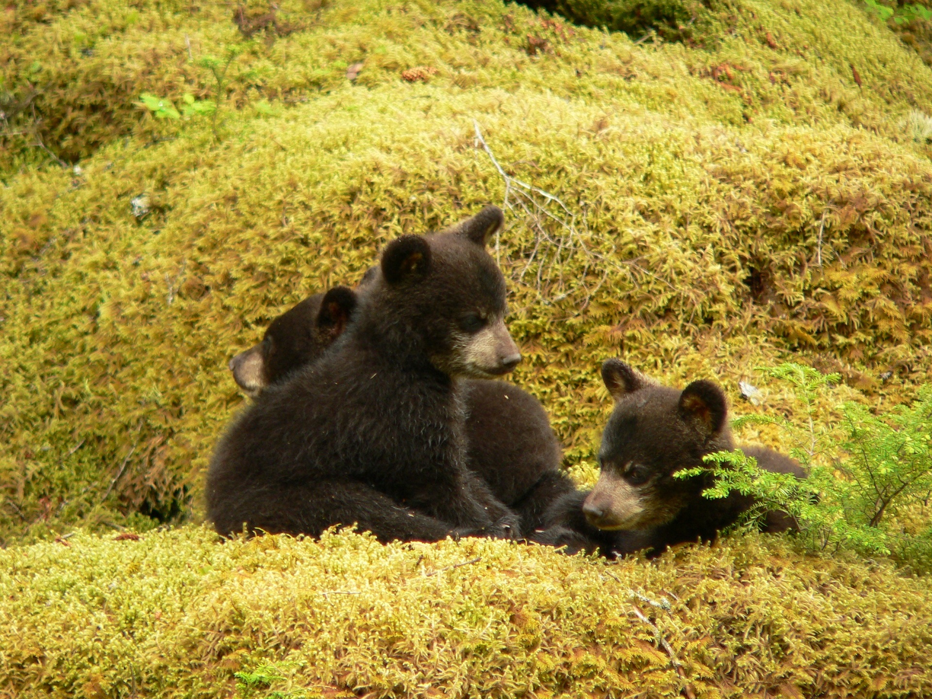 Baby black bears playing