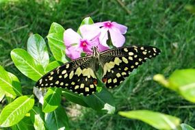 Lime papilio demoleus Butterfly