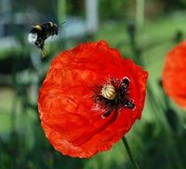 Bumblebee is flting on the poppy flower