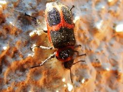 Red and black Beetle Insect