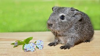 guinea pig on a board near the flowers