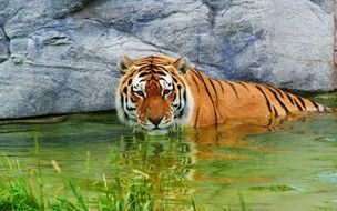 deliciously beautiful Tiger in water