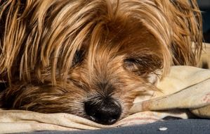 Yorkshire Terrier Lazy Dog closeup