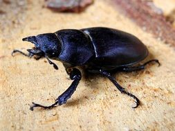 black beetle like a deer