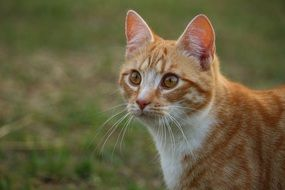 portrait of a red tabby tom cat