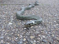 non-hazardous snake on the road
