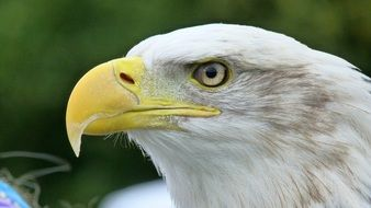 White Tailed Eagle close-up portrait
