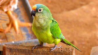 funny colorful tropical Parrot portrait
