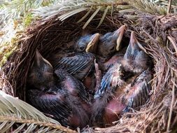 nest with small birds in spring