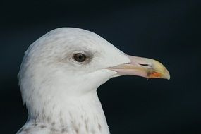 portrait of a herring gull on the black background