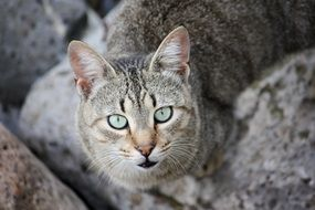 blue eyed cat among rocks