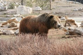 grizzly bear in the wild in yellowstone national park