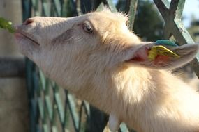 goat eating a green leaf