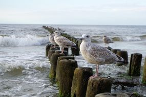 seagulls on the Baltic coast