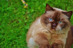 British Shorthair cute cat with blue eyes
