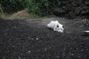 korean jindo dog is lying on the ground