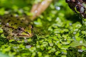 Frog Pond Water Green Frog