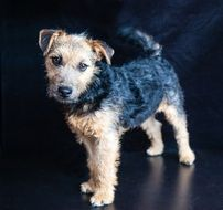 portrait of a lakeland terrier on the black background