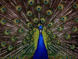 incredibly beautiful blue peacock tail