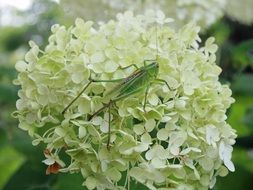 Grasshopper Insect Summer