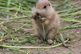 prairie dog nibbles grass
