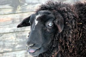 Black Sheep licking nose, head close up