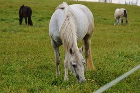 grazing farm horses