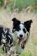 Border Collie in a high grass