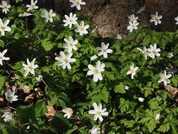 white wood anemone flowers in the forest